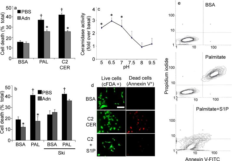 "Adiponectin alters sensitivity to ceramide-induced apoptosis in INS-1 β-cells ( a ) INS-1 cells were washed and removed to 2% BSA, Palmitate (750 μM in 2% BSA), or C2-Ceramide (50 μM in 2% BSA). Adiponectin (3 μg/mL) or PBS was immediately added and cell viability was determined after 18 hours (n=6/group from 3 separate experiments). ( b ) Cell viability was determined on INS-1 cells pretreated with sphingosine kinase inhibitor (2-( p -Hydroxyanilino)-4-( p -chlorophenyl) thiazole, 0.5 μM) or DMSO prior to delivery of adiponectin (3μg/mL) or PBS and maintained for 18 hours in the presence of 2% BSA or Palmitate (750 μM in 2% BSA) ( c ) Ceramidase activity was determined in lysates from cultured INS-1 cells under a range of pH conditions (n=4 from separate experiments) in the presence or absence of adiponectin (0.3 μg/mL, in vitro ). ""Fold change over baseline"" refers to the change compared to BSA treatment without adiponectin. ( d ) INS-1 cells were challenged with C2-ceramide (50 μM) in the presence or absence of S1P (5 μM) cell death was determined by live/dead staining with cFDA or annexin V (image is representative of 3 separate experiments, bar=50μm). ( e ) Apoptosis of INS-1 cells was determined by FACS analysis of annexin V and propidium iodide stained cells following 18 hours of treatment with BSA, palmitate (750 μM), or coadministered palmitate and S1P (5μM) (representative of 3 independent experiments). * denotes significant (p"