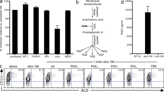 Stroma-derived PGE2 inhibits RALDH expression during DC differentiation. (a) BM-DCs were differentiated with GM-CSF in the presence of skin stroma SN that had been heated at 80°C or digested with trypsin, or SN derived from skin stroma grown in the presence of fumonisin B1 (FB1), indomethacin (indo), or NBDJ. After 3 d, LPS was added and, 18 h later, cells were stained with ALD and CD11c to analyze DC RALDH activity. Bar graphs show the mean relative inhibition of ALD + CD11c + DCs between treated SN and untreated parent SN with SD. Relative inhibition was calculated as described in Materials and methods. Values were pooled from 2–10 experiments. (b) Pathway of prostaglandin synthesis. (c) BM cells were cultured with GM-CSF alone or in the presence of SN from WT or indomethacin-treated skin stroma (SN at 25% culture volume). 0.1 µM of exogenous individual prostaglandins subtypes was added at the beginning of culture. After 3 d, LPS was added and, 18 h later, cells were stained with ALD and CD11c to analyze DC RALDH activity. A representative contour plot of CD11c versus ALD staining is shown with inset values of the mean percentage of CD11c + DCs that are ALD + pooled from three experiments. (d) The concentration of PGE2 in skin stromal SN was determined by ELISA. Shown is the mean with SD from seven individual lines.