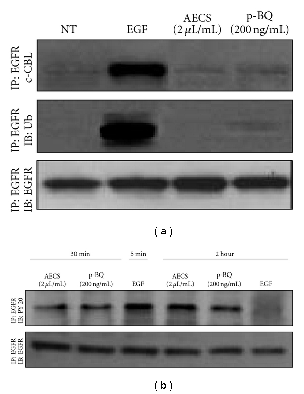 EGFR exposed to AECS/p-BQ cannot bind c-Cbl and is not ubiquitinated. Serum-starved A549 cells were either nontreated (NT) or exposed to 100 ng/mL EGF for 5 min (used as positive control), 2 μ L/mL AECS or 200 ng/mL p-BQ for 1 hr. After treatment, cells were immediately lysed, and the EGFR was immunoprecipitated (IP) from the cell lysates using anti-EGFR antibody. Immunoprecipitated proteins were separated by SDS-PAGE, transferred to PVDF membrane, and immunoblotted (IB) with the indicated antibodies (a). Serum-starved A549 cells were either nontreated (NT) or exposed to 100 ng/mL EGF for 5 min or 2 hr, 2 μ L/mL AECS or 200 ng/mL p-BQ for 1 hr. After treatment, cells were washed with PBS and further incubated in fresh serum-free medium for 2 hr at 37°C before lysis. The EGFR was immunoprecipitated (IP) from the cell lysates using anti-EGFR antibody. Immunoprecipitated proteins were separated by SDS-PAGE, transferred to PVDF membrane, and immunoblotted (IB) with antiphosphotyrosine (PY20) antibody (b).