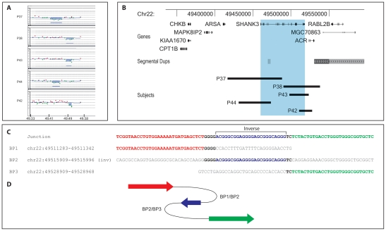 22q13.3 interstitial microdeletion detected by array-CGH analysis. A, aligned aCGH profile (P37–38, P43–44: 180k Agilent kit; P42: 244k Agilent kit) details of all interstitial deletions; the deleted regions are shaded. B, map of the distal 22q13.3 region; the deletions are represented by black bars; the region overlapping the SHANK3 gene is shaded in light blue. All genes mapping in the region are shown. C, sequence alignment of the breakpoint junctions of subject P42 showing the homology with three genomic regions. The proximal breakpoint sequence is shown in red, the middle 24 bases in inverted orientation are blue, the distal breakpoint sequence in green; microhomologies between sequences at the breakpoints are depicted in bold. D, cartoon showing the respective position and orientation of the breakpoint sequences in P42 as arrows, colored as in C.