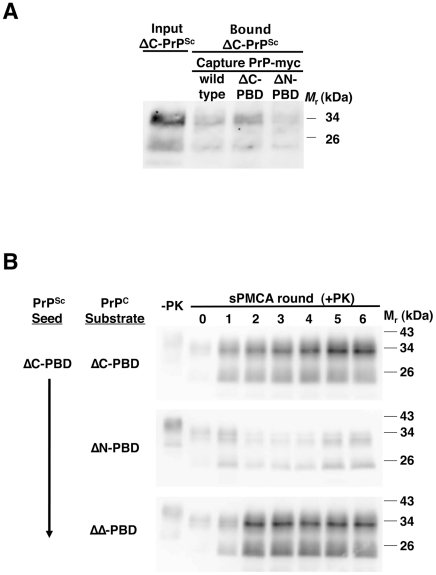 Interaction of ΔC-PBD PrP Sc  with mutant PrP molecules. ( A ) Binding of ΔC-PBD PrP Sc  to PrP. ΔC-PBD PrP Sc  was incubated with wild-type or polybasic mutant (ΔC-PBD, ΔN-PBD) myc-tagged PrP. Bound PrP Sc  was captured with 9E10 anti-myc antibody on magnetic protein A Dynabeads, and detected by 25 µg/mL proteinase K digestion and anti-PrP (27/33) immunoblot. ( B ) Propagation of ΔC-PBD PrP Sc . ΔC-PBD PrP Sc  was propagated by sPMCA with polybasic deletion mutant PrP C  prepared from Chinese hamster ovary (CHO) cells. Reactions were supplemented with  Prnp 0/0  mouse brain homogenate. One sample of each reaction was not subjected to protease digestion (−PK), loading ¼ of volume. All others were subjected to limited proteolysis by 25 µg/mL proteinase K digestion. PrP was detected by immunoblot (anti-PrP 27/33).
