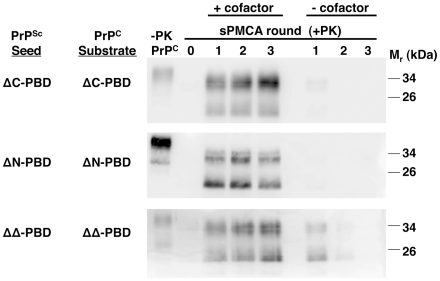 Effect of accessory cofactors on the propagation of ΔPBD PrP Sc  molecules. In vitro -generated ΔC-PBD, ΔN-PBD, and ΔΔ-PBD PrP Sc  molecules were propagated by sPMCA with autologous PrP C  prepared from Chinese hamster ovary (CHO) cells. One set of reactions was supplemented with  Prnp 0/0  mouse brain homogenate (+cofactor), while a second set received only buffer (−cofactor). One sample of each reaction was not subjected to protease digestion (−PK), while all others were digested with 25 µg/mL proteinase K. –PK reactions for ΔC-PBD and ΔΔ-PBD were loaded with ¼ volume. PrP was detected by immunoblot (anti-PrP 27/33).