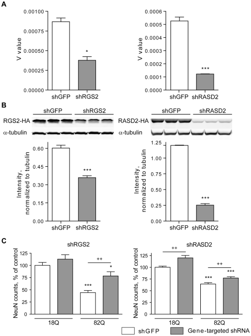 Silencing of RGS2 or RASD2 is protective in the TRE-htt171-82Q primary striatal neuron model of HD. A RGS2-targeting shRNA delivered via a lentiviral vector resulted in a 46.1±7.2% reduction of RGS2 mRNA (in neurons) and 40±5.4% reduction of RGS2 protein expression (in HEK 293T cells), respectively (Panel A). A RASD2-targeting shRNA resulted in a 76.8±0.3% reduction of RASD2 mRNA expression (in neurons) and 79.1±3.6% reduction of RASD2 protein expression (in HEK 293T cells), respectively (Panel B). Immunoblots were performed on HEK 293 cells expressing HA-tagged RGS2 and RGS2 silencing constructs. Lentiviral delivery of an shRNA targeting GFP (shGFP) was used as a control. Values are presented as mean±SEM, n = 3. * p