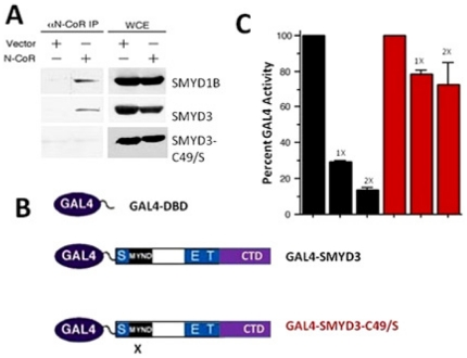 An intact SMYD3 MYND domain is required for association with N-CoR and for transcriptional repression. (A) N-CoR co-immunoprecipitates with wildtype SMYD3 but not with SMYD3 MYND domain point mutant C49/S. 293T cells were co-transfected with N-CoR, N-terminal myc-tagged SMYD3 constructs indicated, and with empty vector (vector). 48 hours post-transfection, whole cell RIPA lysates (WCL) were prepared. Fractions of the lysates were subjected to anti-N-CoR co-immunoprecipitation and the remaining 50% served as input. Western analysis was performed with anti-myc antibodies. Myc-SMYD1B, previously shown to interact with N-CoR served as a positive control. (B) Schematic of GAL4-DNA binding domain (DBD) and GAL4-fusion constructs for wild type (GAL4-SMYD3) and MYND domain-mutated (GAL4-SMYD3-C49/S) two hybrid transcription assays. X denotes the location of the C49/S mutation. (C) GAL4-SMYD3 but not GAL4-SMYD3-C49/S represses transcription of a GAL4-UAS containing luciferase reporter. 293T cells were transiently co-transfected with the 5XGAL4-SV40-luciferase reporter (1 µg) together with GAL4-DBD, or with 1 or 2 µg (indicated as 1X or 2X) of GAL4-SMYD3 (black bars) or GAL4-SMYD3-C49/S (red bars). Transfection efficiencies were normalized to co-transfected renilla luciferase, and percent GAL4 activity was determined in relation to GAL4-DBD set at 100%.