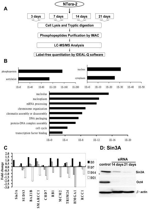 Phosphoproteomic signature in cellular differentiation revealed by a label-free quantitation strategy. A. Experiment workflow for quantitation of astrocyte phosphoproteomics. B. Functional annotation chart of the differentially phosphorylated proteins analyzed by DAVID [47] , [48] ; the highly represented categories are shown. Ontology terms are shown on the y axis; p-values for the significance of enrichment are graphed along the x axis. C. Analysis of the regulation of genes through label-free quantitation in NTera-2 cells 3, 7, 14 and 21 days during cell differentiation compared to undifferentiated NTera-2 cells. Data are expressed as log2 of fold change. D. Western blots showing levels of Sin3A expression in undifferentiated NTera-2 cells and NTera-2 cells 14 and 21 days after differentiation. β-actin was used as an internal control in the Western blots.