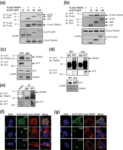 <t>TRAF6</t> interacts with WT and mutant N-HTT in vitro and full-length proteins in vivo and accumulates in mutant N-HTT aggregates. a , HEK 293 cells were transfected with FLAG-TRAF6, and the huntingtin N-terminal fragment fused to GFP (N-HTT-GFP) with WT (Gln 21 , Q21) or mutated (Gln 60 , Q60 and Gln 150 , Q150) polyglutamine expansion. Lysates were immunoprecipitated ( IP ) with anti-FLAG beads, and bound proteins were revealed by immunoblot ( IB ) with anti-GFP, Q150 and anti-FLAG antibodies. Lysates were tested for the expression of TRAF6 and N-HTT proteins. Molecular mass markers (kDa) are indicated on the left. b , cells were transfected with FLAG-TRAF6 and N-HTT-GFP constructs as indicated. Lysates were immunoprecipitated with anti-GFP. Bound proteins and lysates were analyzed with anti-FLAG and anti-GFP antibodies. An asterisk represents N-HTT bands from previous development of the same gel. # represents an unspecific band. c , HEK 293 cell lysates were immunoprecipitated with anti-HTT or control IgG (as indicated), and bound endogenous proteins were revealed with anti-TRAF6 and anti-HTT antibodies. d , the cortex from WT and homozygous Hdh Q111 ( mut ) mice was dissected, lysed, and used for immunoprecipitation of endogenous TRAF6 and full-length HTT proteins. e , the parietal cortex from HD post-mortem brain was lysed and processed for co-immunoprecipitation of endogenous proteins as in d. f , HEK 293 cells were transfected as in a . TRAF6 was visualized by indirect immunofluorescence with anti-FLAG antibody ( red ). N-HTT was visible by GFP autofluorescence ( green ). Nuclei were visualized with DAPI ( blue ). g , cells were transfected with N-HTT-GFP constructs. Endogenous TRAF6 was stained with anti-TRAF6 antibody ( red ).