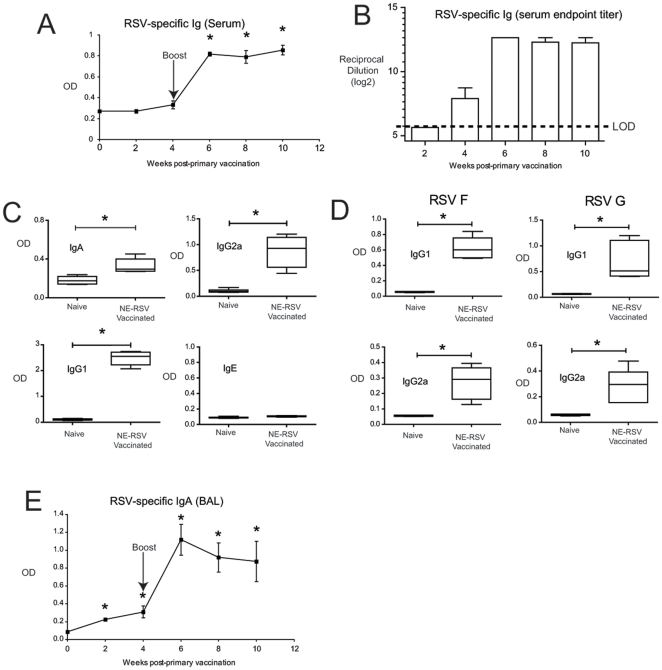 Intranasal vaccination of mice with NE-RSV results in RSV-specific antibody responses. Mice were immunized with NE-RSV containing 10 5 virus particles at Day 0 and Day 28. In (A), the levels of RSV specific antibodies (IgG+IgM) in serum were determined at weeks 2, 4, 6, 8, and 10 via ELISA using purified RSV protein. In (B), serum samples were serially diluted to obtain endpoints titers. In (C), RSV-specific IgA, IgG2a, IgG1, and IgE were assessed at week 8 via isotype-specific ELISA. In (D), IgG2a and IgG1 antibodies specific for RSV F and G were assessed at week 8 via isotype-specific ELISA using purified RSV F and G glycoproteins. In (E), RSV-specific IgA responses in bronchoalveolar lavage samples (BAL) were assessed using an isotype-specific ELISA. Each time point represents the mean of a minimum of 5 samples +/− SEM, and the experiment was repeated with similar results. * = P