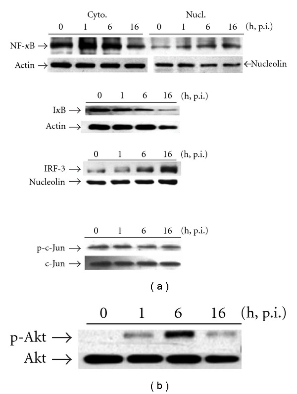 Time-related effect of H1N1 inoculation on (a) transcriptional factors activation measured by NF- κ B and IRF-3 nuclear translocation, I κ B degradation and c-Jun phosphorylation, as well as (b) Akt phosphorylation in A549 alveolar epithelial cells, respectively. Nuclear (for NF- κ B and IRF-3) and cytosolic proteins (for I κ B and c-Jun) were extracted in the absence of virus (indicated as 0) or obtained at 1, 6, or 16 h p.i as described in Section 2 then assessed by western blotting. Similar results were obtained in four independent experiments.
