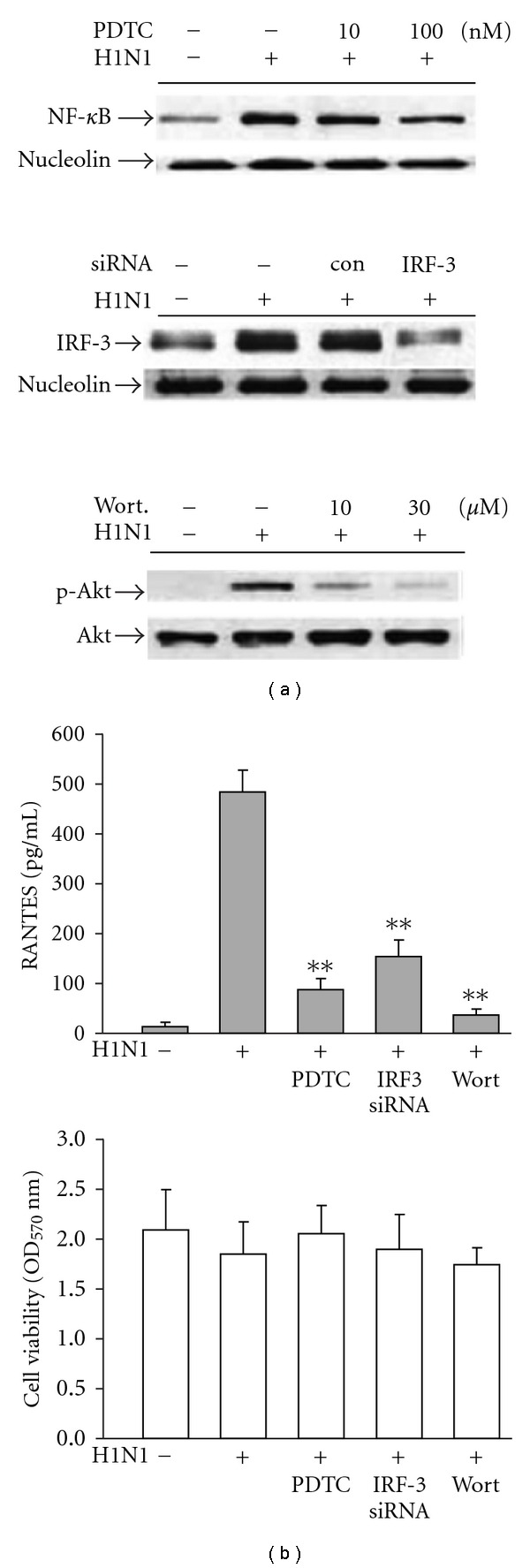 (a) Inhibitory effects of pyrrolidinedithio carbamate (PDTC, a NF- κ B inhibitor), IRF-3 siRNA and wortmannin (wort, a PI3K inhibitor) on the nuclear translocation of NF- κ B/IRF-3 and phosphorylation of Akt in H1N1-infected A549 cells and (b) the same treatment on RANTES accumulation (100 nM PDTC, 100 nM siRNA and 30 μ M wortmannin). For nuclear translocation assay, cells were lysed at 16 h p.i. and nuclear protein was extracted for western blot analysis as described in Section 2 . While assessing Akt phosphorylation, cells were lysed at 6 h p.i. then cytosolic protein was extracted. For RANTES measurement, culture medium was collected at 48 h (p.i.). Data reported are mean ± SE of six independent experiments, each performed in triplicate. ** P