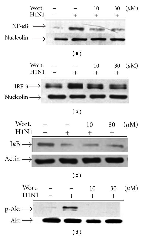 Effects of wortmannin on NF- κ B and <t>IRF-3</t> nuclear translocation, I κ B degradation and <t>Akt</t> phosphorylation in H1N1-infected A549 cells. For nuclear translocation and cytosolic I κ B degradation, cells were lysed at 16 h p.i. and then protein was extracted for western blot analysis as described in Section 2 . While assessing Akt phosphorylation, cells were lysed at 6 h p.i. then cytosolic protein was extracted. Similar results were obtained in three independent experiments.