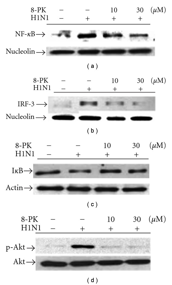 Effects of 8-PK on NF- κ B and IRF-3 nuclear translocation, I κ B degradation and Akt phosphorylation in H1N1-infected A549 cells. For nuclear translocation and cytosolic I κ B degradation, cells were lysed at 16 h p.i. and then protein was extracted by western blot technique as described in Section 2 . While assessing for Akt phosphorylation, cells were lysed at 6 h p.i. then cytosolic protein was extracted. Similar results were obtained in four independent experiments.