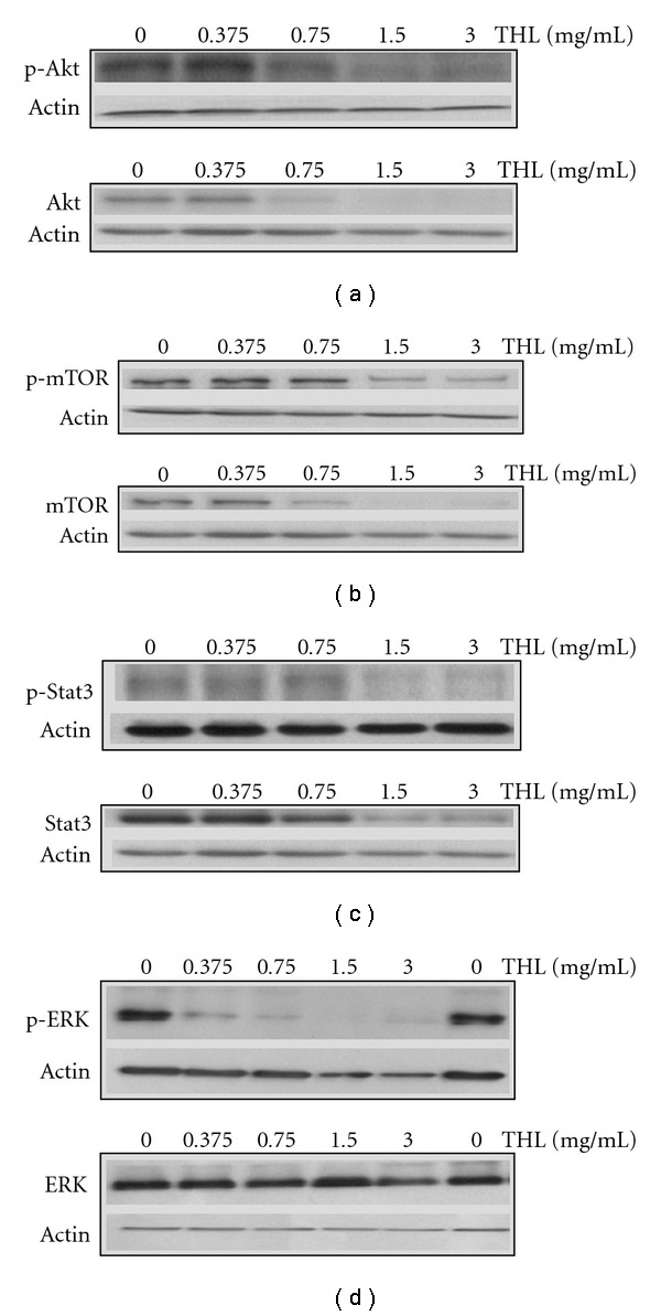 THL-induced inhibition of oncogenic signaling pathways in NB4 cells. Western blot analysis for phosphorylated (p-) and total Akt (a), mTOR (b), Stat3 (c) and ERK (d) proteins of THL-treated NB4 cells. Phosphorylated Akt, mTOR, Stat3 and ERK were all significantly inhibited by treatment with THL. Total protein levels of Akt, mTOR and Stat3 were also significantly decreased by THL, while the total ERK protein was only slightly decreased by the highest dose of THL. The cells were treated with PBS or THL (0.375–3 mg/ml) for 72 h and then harvested. Cell lysates were then prepared for western blot analysis.