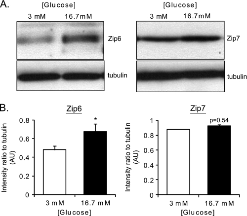 """Effect of elevated glucose concentrations on the expression of proteins implicated in Zn 2+ homeostasis in mouse pancreatic islets. A , total cell lysates were loaded onto 12% <t>SDS-PAGE,</t> which was subsequently transferred onto a <t>PVDF</t> membrane (see """"Experimental Procedures""""). The membrane was blotted for ZiP6 (1:200), ZiP7 (1:200), and β-tubulin (1:1000) and with an HRP-lined anti-rabbit (1:5000) secondary antibody. B , quantification of three different immunoblot analyses for ZiP6 and ZiP7. The same area of interest was drawn around the specific bands for ZiP, ZiP7 as well as the corresponding tubulin band, and the intensity was measured using ImageJ software. The ratio of intensity between ZiP or ZiP7 signals and tubulin were plotted. *, p"""