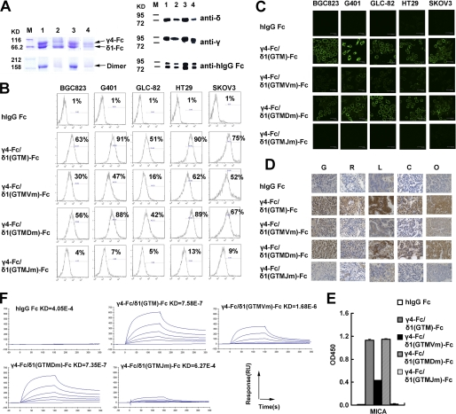 Specific binding of TCR γ4-Fc/δ1(GTM)-Fc fusion protein and its mutants to tumor cells or tissues and antigen MICA. A , the expression of γ4-Fc/δ1(GTM)-Fc fusion protein and its mutants was analyzed by SDS-PAGE and Western blotting. Two subunits with different M r of the four fusion proteins are shown by reduced PAGE ( upper left ). TCRγ4-Fc chain ( upper bands ) ran slightly higher than TCRδ1-Fc ( lower bands ). Intact γ4-Fc/δ1-Fc dimmers are shown by non-reduced PAGE ( lower left ). Lane 1 , γ4-Fc/δ1(GTM)-Fc; lane 2 , γ4-Fc/δ1(GTMVm)-Fc; lane 3 , γ4-Fc/δ1(GTMDm)-Fc; lane 4 , γ4-Fc/δ1(GTMJm)-Fc; lane M , protein marker. We further characterized the fusion proteins by Western blotting using anti-Vδ, anti-Vγ, and anti-human IgG Fc as primary antibody ( right panels ). B , binding of TCRγ4-Fc/δ1(GTM)-Fc fusion protein and its V, D, and J mutants to tumor cells was analyzed by flow cytometry. After incubation with fusion proteins, tested cells were stained with FITC-conjugated goat anti-human IgG and then analyzed by flow cytometry. Data are representative of three independent experiments. C , binding of γ4-Fc/δ1(GTM)-Fc and its V, D, and J mutants to tumor cells was analyzed by confocal microscopy. After incubation with fusion proteins, cells were stained with FITC-conjugated goat anti-human IgG and followed by laser scanning confocal microscopic analysis. Confocal images are representative of three independent experiments. D , binding of γ4-Fc/δ1(GTM)-Fc protein and its V, D, and J mutants to primary tumor specimens was analyzed by immunohistochemistry. Human IgG Fc was used as a negative control. Binding was visualized using diaminobenzidine as the substrate ( brown ) (×100). G , gastric cancer; R , renal carcinoma; L , lung carcinoma; C , colon carcinoma; O , ovarian cancer. E , shown is ELISA analysis of the binding of γ4-Fc/δ1(GTM)-Fc and its mutants to antigen MICA. Data shown are the mean of three independent experiments. F , shown is SPR analysis of the bindin