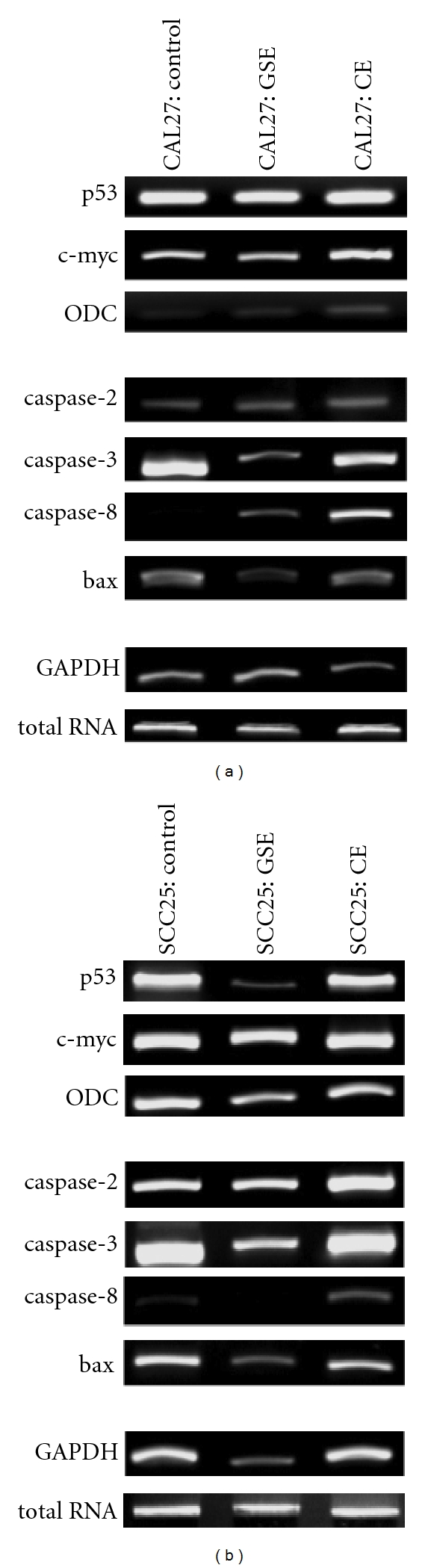 Total RNA and mRNA analysis. RT-PCR was performed on total RNA extracted from CAL27 (a) and SCC25 (b) cells at 24 h after CE or GSE administration; no significant changes were detected at 4 h (data not shown). Relative endpoint (RE) RT-PCR revealed that CE and GSE treatment increased expression of apoptosis-related mRNA (caspase-2, caspase-8) in both cell lines, which is first detectable at 24 h. CE significantly enhanced CAL27 expression of cell-cycle genes (p53, c-myc, ODC), while GSE reduced SCC25 expression of these same targets at this time point.