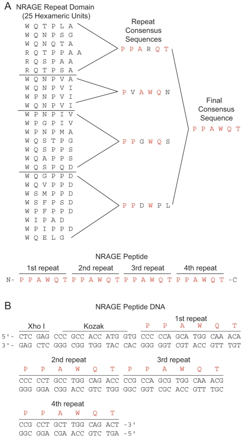 Design of the NRAGE peptide. (A) A list of the 25 hexamers in the order in which they appear in the NRAGE repeat domain partitioned into 4 distinguishing groups. A repeat consensus sequence was determined for each group and was then resolved into a single final consensus sequence as indicated by the red amino acids which was repeated 4 times for the NRAGE peptide. (B) Schematic of nucleotides comprising the NRAGE peptide including a Xho I site and a Kozak sequence to facilitate excision and transcription respectively.