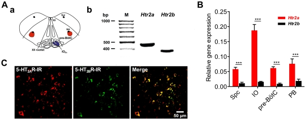 Quantification of expression levels and co-expression of 5-HT 2A and 5-HT 2B Rs within the pontine respiratory network. ( A ) ( a ) shows a schematic representation of the dissected pre-BötC and its landmarks: pre-Bötzinger complex (pre-BötC), nucleus of the solitary tract (Sol), nucleus ambiguus (NA), hypoglossal nucleus (XII), principal nucleus of the inferior olive (IO Pr ). ( b ) shows the specific mRNA of both receptors detected in the pre-BötC. ( B ) Double labeling of 5-HT 2A and 5-HT 2B Rs. 5-HT 2A (Cy5, red) and 5-HT 2B Rs (Cy2, green) are strongly co-expressed in pre-BötC-neurons. Immunohistochemical analysis does not reveal the ratio of co-expressed proteins. Therefore, we performed quantitative real-time RT-PCR on four selected nuclei of the respiratory network ( C ). The bar diagram represents results of quantitative real-time RT-PCR analysis of 5-HT 2 R genes ( Htr2a , Htr2b ) of spinal cord (Spc), inferior olive (IO), pre-Bötzinger complex (pre-BötC), and parabrachial complex (PB). At the RNA level 5-HT 2A R is significantly stronger expressed compared to Htr2b in all regions analyzed. Asterisks indicate significance (*** = p
