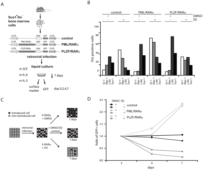 Effect of SSi on the X-RARα-induced phenotype in murine HSCs. ( A ) Experimental strategy. Sca1+/lin - BM cells were infected with the indicated retroviruses and maintained for one week in liquid culture with the indicated growth factors in the presence/absence of 40 µM SSi. ( B ) Differentiation was assessed by the expression of Gr-1, Mac-1, c-Kit and Sca1. ( C ) Schematic representation of the proliferation competition assay (PCA). ( D ) GFP expression in X-RARα-positive HPCs assessed by FACS analysis in the presence/absence of SSi at day 2, 4, and 7. One representative result from three independent experiments is shown.