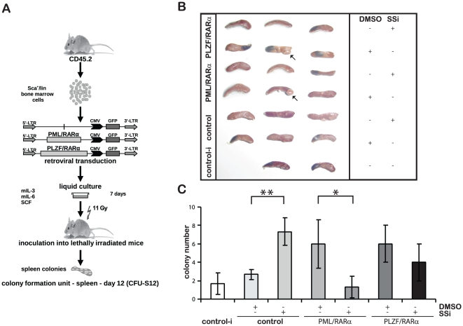 Effect of SSi on X-RARα-mediated aberrant stem cell capacity in murine HSC. ( A ) Experimental strategy for studying the ST-HSC capacity of X-RARα-expressing HSCs (CFU-S12). Sca1 + /lin - BM cells were infected with the indicated retroviruses and maintained for one week in liquid culture with the indicated growth factors in the presence/absence of 40 µM SSi. Cells were inoculated into lethally irradiated (11Gy) recipients that were then sacrificed at day 12 after transplantation. ( B ) Photographs of all the fixed spleen are shown, the arrows indicate an example of a CFU in the fixed spleens. ( C ) Bulks represent the number of CFU-S12 expressed as the mean from three spleens with SD. Statistical analysis was performed using Student's t -test (* - p