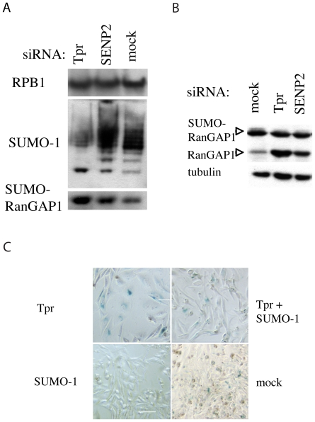 Tpr regulates SUMOylation. 5A–5B. Analysis of the overall level of SUMOylation in cells transfected with Tpr, Nup153, SENP2 and mock siRNAs. 5A. Nuclear extracts of siRNAs treated cells were prepared and analyzed by western blotting using the antibodies as described on the left of the figure. RPB1 was used as loading control. 5B. Analysis of <t>RanGAP1</t> SUMOylation. Cytoplasmic extracts of Tpr, Nup153, SENP2 and mock siRNAs-treated cells were prepared and analyzed by western blotting using an anti-RanGAP1 antibody recognizing both SUMOylated and non-SUMOylated forms of RanGAP1 and with tubulin as loading control. 5C: SUMO-1 siRNA treatment overrides Tpr depletion-induced senescence in HeLa cells. HeLa cells were transfected with Tpr, SUMO-1, Tpr and SUMO-1 and mock siRNAs. After 6days, the cells were fixed and stained for SA-β-gal activity at pH 6.0. A representative picture of each condition is presented. Scale bar: 15 µm.