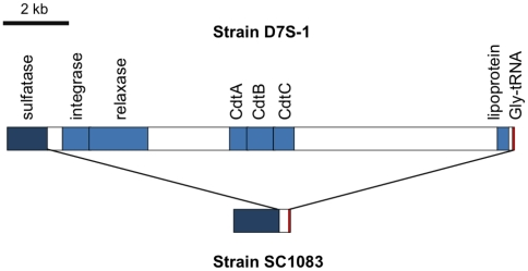 Genetic comparison between A. actinomycetemcomitans strains with or without the cdt -island. Comparison of the genetic locus of the cdt -island in strain D7S-1 and the comparable locus in strain SC1083. The homologous sulfatase and Gly-rRNA between strains are colored in dark blue and red, respectively. Several genes encoding hypothetical proteins and other proteins in the cdt -island of strain D7S-1 are not indicated in the map (see Table S3 for a full list of genes on the island). The comparison shows that strain SC1083 is missing the ∼14 kb cdt -island.