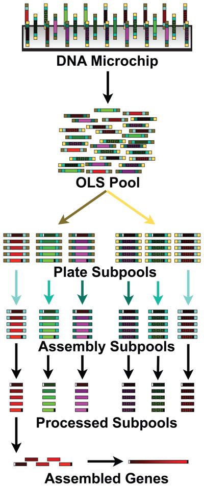 Scalable gene synthesis platform schematic for OLS Pool 2 Pre-designed oligonucleotides (no distinction is made between dsDNA and ssDNA in the figure) are synthesized on a DNA microchip ( a ) and then cleaved to make a pool of oligonucleotides (b) . Plate-specific primer sequences (yellow or brown) are used to amplify separate Plate Subpools (c) (only two are shown), which contain DNA to assemble different genes (only three are shown for each plate subpool). Assembly specific sequences (shades of blue) are used to amplify assembly subpools (d) that contain only the DNA required to make a single gene. The primer sequences are cleaved (e) using either Type IIS restriction enzymes (resulting in dsDNA) or by <t>DpnII/USER/γ</t> exonuclease processing (producing ssDNA). Construction primers (shown as white and black sites flanking the full assembly) are then used in an assembly PCR reaction to build a gene from each assembly subpool (f) . Depending on the downstream application the assembled products are then cloned either before or after an enzymatic error correction step.