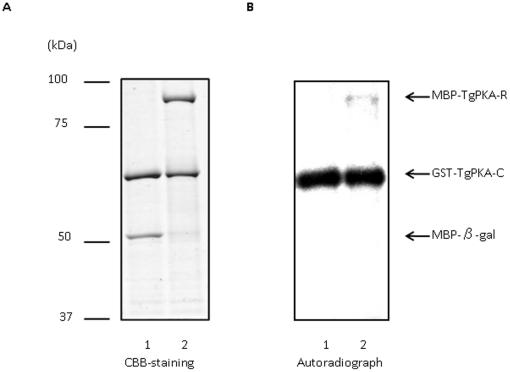 Interaction of GST-TgPKA-C and MBP-TgPKA-R. A , Purified MBP-β-gal (lane 1) or MBP-TgPKA-R (lane 2) was incubated with GST-TgPKA-C in kinase buffer containing [γ- 32 P]ATP, separated on a denaturing gel, and Coomassie stained. B , Autoradiograph of the gel shown in ( A ). Arrows indicate the migration of GST-TgPKA-C, MBP-β-gal, or MBP-TgPKA-R. Molecular masses (kDa) are shown on the left.