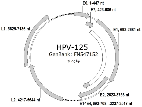 Genomic organisation of HPV-125. Genomic positions of viral genes E6, E7, E1, E2, E4 (E1∧E4), L1 and L2 are indicated next to the respective gene. The non-coding regions located between L1 and E6 (LCR); and E2 and L2 are indicated with a dotted line.