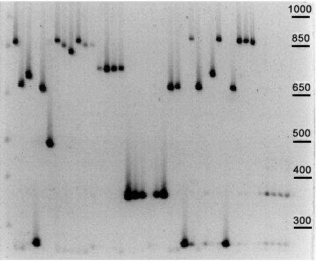 PCR amplification of B. anthracis minisatellite CEB-Bams30 DNA from B. anthracis and B. cereus (six rightmost lanes) was amplified using primers for CEB-Bams30 (Table 2 ). The PCR products were run on a 40 cm long 2% ordinary agarose gel.