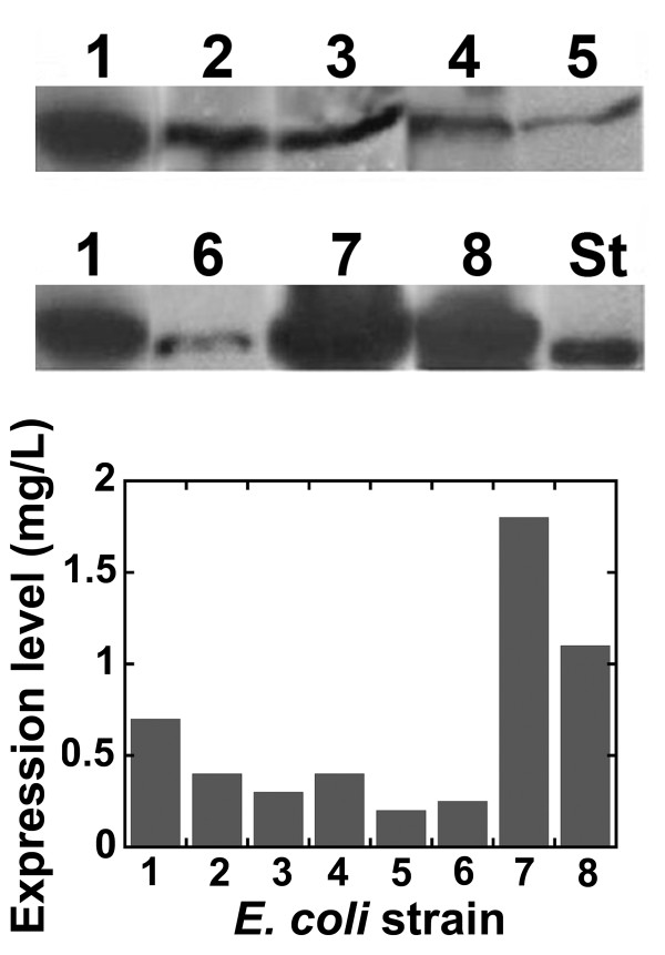 Western blot analysis of DsbA:HIV-1Pr protein expression on total cell extracts of different E. coli strains containing the pET39-DsbA:HIV-1Pr plasmid. As detected using anti-His-tag-specific antibodies. Cells were grown in LB medium at 37°C, protein expression was induced using 1 mM IPTG at early-exponential phase, and cells were harvested after 1 hour. E. coli strains are: 1: BL21(DE3)pLysS; 2: C41(DE3); 3: C43(DE3); 4: C41(DE3)pLysS; 5: C43(DE3)pLysS; 6: KRX; 7: BL21-CodonPlus(DE3)-RIL; and 8: BL21(DE3)Star. In all cases variability among replicate cultures was lower than 10%. The amount of cells corresponding to 1 mL of culture was loaded in each lane. St: 0.5 μg of His-tagged recombinant D-amino acid oxidase.