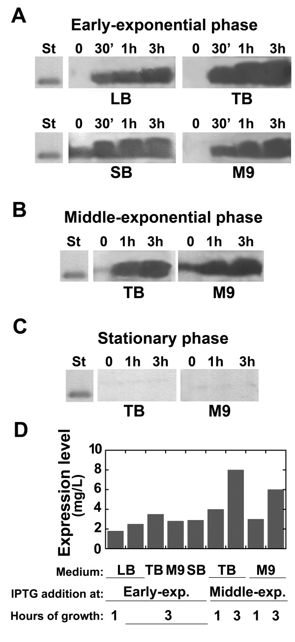 Western blot analysis of DsbA:HIV-1Pr expression on total cell extracts of BL21-Codon Plus-(DE3)-RIL E. coli cells containing the pET39-DsbA:HIV-1Pr plasmid and using different cultivation media. (Indicated below each panel): the cells were collected at different times after adding 1 mM IPTG (0, 0.5, 1, or 3 hours, as indicated above each lane). Protein expression induced at A) the early-exponential phase, B) the middle-exponential phase, and C) the stationary phase. An amount of cells corresponding to 1 mL (panel A) or 0.5 mL (panels B and C) of culture was loaded in each lane. D) Comparison of DsbA:HIV-1Pr production level obtained using different growth conditions. The first bar represents the best conditions identified using different E. coli strains (see Figure 1). In all cases variability among replicate cultures was lower than 10%. DsbA:HIV-1Pr expression was detected using anti-His-tag-specific antibodies. St: 0.5 μg of His-tagged recombinant D-amino acid oxidase.