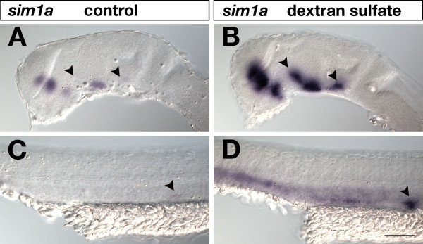 Effects of dextran sulfate in standard WISH . 24-hpf embryos were hybridized to a sim1a digoxigenin-labeled RNA probe, which was visualized by AP-BCIP/NBT chromogenic detection under identical conditions and staining times. Lateral views of embryonic brains (A,B) and trunks (C,D) are shown with anterior to the left. In (B,D) but not in (A,C) 5% dextran sulfate was included in the hybridization buffer. Addition of dextran sulfate resulted in increased signal sensitivity. Arrowheads in (A,B) indicate sim1a -positive neuronal clusters identified in dextran sulfate treated brains (B) that were hardly detected in untreated embryos (A). Arrowheads in (C,D) mark the pronephric primordium strongly visualized in dextrane sulfate treated embryos (D) but not in untreated specimens (C). Embryos were viewed on an Axioplan II microscope and images were recorded with an Axiocam digital camera. Scale bar is 100 μm.