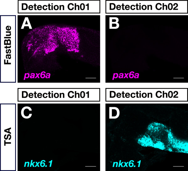 Control of bleed-through between Fast Blue and TSA-FAM detection channels . 24-hpf embryos were hybridized to a dinitrophenol-labeled pax6a probe (A,B) or to a digoxigenin-labeled antisense RNA probe specific for nkx6.1 (C,D). Transcripts were detected using Fast Blue (A,B) and TSA-FAM (C,D). Fluorescence signals were recorded in the Fast Blue (Ch01: detection of wavelengths greater than 650 nm) and TSA-FAM (Ch02: detection of wavelengths from 505 nm to 545 nm) detection channels. No bleed-through was detected between the TSA-FAM and Fast Blue detection channels (B,C). Lateral views with anterior to the left are shown. Images were recorded on a LSM510 confocal microscope and false-colored in ImageJ. Scale bar is 50 μm.