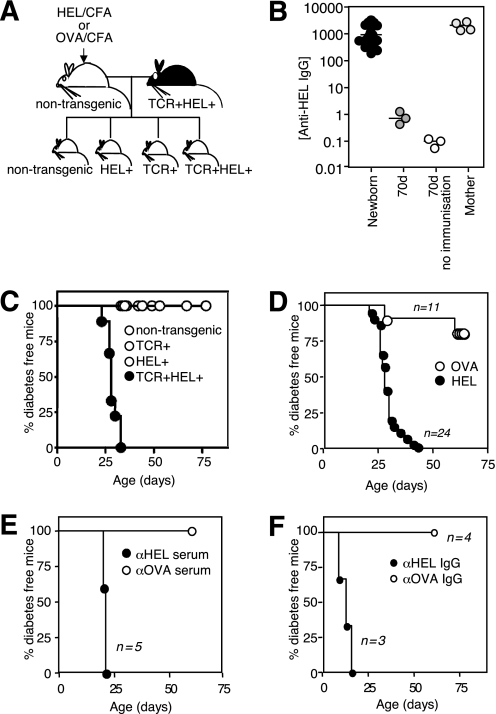 Effect of passive transfer of antibody on diabetes in TCR+ HEL+ mice. A : Breeding strategy for maternal antibody transfer experiments. Nontransgenic B10.BR females were immunized with HEL or OVA protein emulsified in CFA to induce specific antibodies and then mated with TCR+HEL+ males to yield 25% TCR+HEL+ offspring and equal numbers of singly transgenic or nontransgenic littermates. B : Anti-HEL IgG titers in newborns from mothers immunized as illustrated in ( A ); 70-day-old pups from immunized or unimmunized mothers and mothers 5 weeks after immunization. C : Diabetes incidence in offspring with the indicated genotypes bred from HEL-immunized mothers. D : Diabetes incidence in TCR+HEL+ offspring of mothers immunized with either HEL (closed symbols) or OVA (open symbols). E and F : Diabetes incidence in TCR+HEL+ neonates injected on days 1, 3, and 5 after birth with serum ( E ) or purified IgG ( F ) from HEL- or OVA-immunized mice.