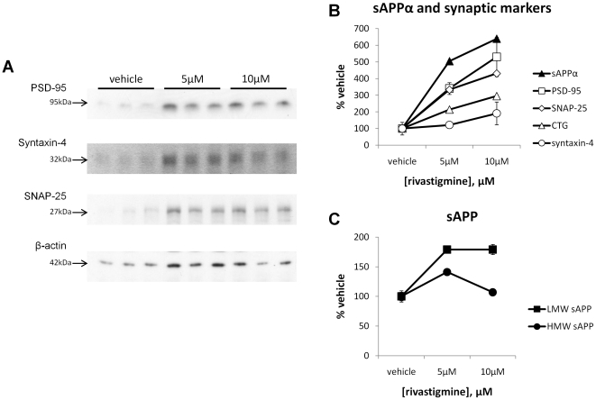 Rivastigmine-mediated increase in neuron-associated sAPP and sAPPα parallels increases in neuronal protein markers. Levels of low molecular weight neuronal sAPP (LMW-sAPP), high molecular weight glial sAPP (HMW-sAPP), and sAPPα were compared to levels of the presynaptic protein markers SNAP-25 and syntaxin-4, and the postsynaptic protein marker PSD-95. All values are expressed as a % of vehicle-treated cells for comparison. PSD-95 and SNAP-25 levels increased dose-dependently with rivastigmine treatment (both p