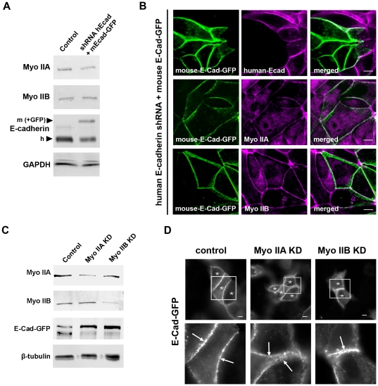 Knockdown of human E-cadherin in MCF-7 cells and reconstitution with mouse EGFP-E-cadherin. (A) E-cadherin KD/E-cad-GFP reconstituted cell line: MCF-7 cells were infected with lentivirus bearing both shRNA directed against human E-cadherin and full-length mouse E-cadherin fused to EGFP. Immunoblots were probed for E-cadherin, Myosin IIA and IIB, and GAPDH. Protein levels of endogenous human E-cadherin (h) and expressed mouse Ecad-GFP (m) were recognized by the same E-cadherin antibody against the cytoplasmic tail. (B) E-cadherin KD/reconstituted MCF-7 cells were fixed and immunostained for human E-cadherin (magenta) to confirm knockdown and for EGFP (green) to visualize exogenous expression of E-cad-GFP. Cells were also costained for E-cad-GFP (green) and Myosin IIA (magenta) or Myosin IIB (magenta). Images shown are representative confocal sections from the apical junctions. (C) E-cadherin KD/reconstituted MCF-7 cells were infected with lentiviral shRNA directed against either Myosin IIA or Myosin IIB or with control empty virus expressing mCherry alone. Immunoblots show knockdown levels of Myosin IIA and IIB and expression levels of E-Cad-GFP. Tubulin was used as a loading control. (D) E-cadherin KD/reconstituted MCF-7 cells were infected with lentiviral shRNA directed against either Myosin IIA or Myosin IIB or with control empty virus expressing mCherry alone. Transduced cells express mCherry and are marked with asterisks. Fixed cells were immunostained for EGFP-E-cadherin and morphology of exogenously expressed E-cadherin in knockdown and control cells is shown at apical junctions. Arrows in enlarged images indicate accumulation of E-Cad-GFP at the ZA of cell-cell contacts. Scale bars = 10 µm.