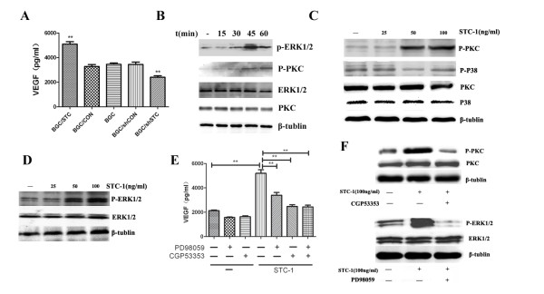 STC-1 promoted VEGF expressing through PKCβII signaling pathway . (A) VEGF expression in the different culture supernatants. ELISA assay was used to detect VEGF expression in the culture supernatants. (B) Time courses of PKCβIIand ERK1/2 avtivation induced by STC-1. BGC823 were treated with 50 ng/mL STC-1 for 15, 30, 45, 60 min. Whole- cell lysates were prepared and immunoblotted with antibodies to phosphor-PKC βII, total PKC βII, phosho-ERK1/2 and total ERK1/2. (C) Concentration courses of PKC βIIand P38 activation induced by STC-1. BGC823 were treated with different concentrations STC-1 for 45 min. Whole- cell lysates were prepared and immunoblotted with antibodies to phosphor-PKC βII, total PKC βII, phosho-P38 and total P38. The results are representative of three independent experiments. (D) Concentration courses of ERK1/2 activation induced by STC-1. BGC823 were treated with different concentrations STC-1 for 45 min. Whole- cell lysates were prepared and immunoblotted with antibodies to phosho-ERK1/2 and total ERK1/2. The results are representative of three independent experiments. (E) Effect of STC-1 on VEGF is mediated through PKCβII and ERK1/2 signaling. BGC823 was exposed to either CGP53353 (0.5 μM) or PD98059 (25 μM) for three hours and then individually with STC-1 for 24 h. The results are representative of three independent experiments. VEGF expression in BGC823 cell culture supernatants was determined by ELISA. (F) CGP53353 and PD98059 could inhibit PKC βIIand ERK activation, respectively.
