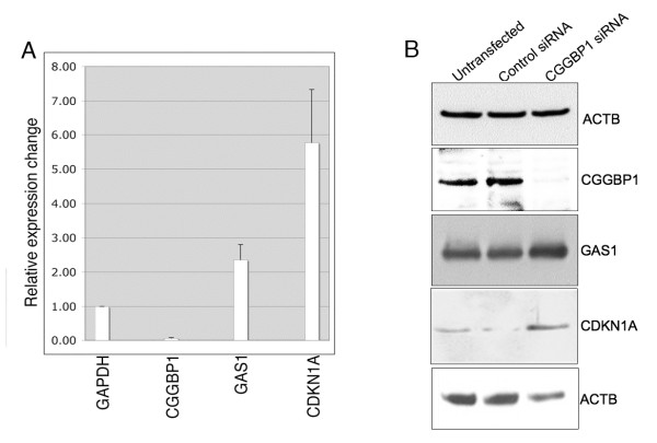 CGGBP1 depletion in U-2987 MG cells is associated with increased expression of CDKN1A and GAS1 . A: A strong decrease in CGGBP1 mRNA expression shows the efficiency of siRNA transfections. Using GAPDH as control, increase in the mRNA levels of CDKN1A and GAS1 was seen. RNA samples from duplicate transfections were pooled and analyzed in triplicates and relative change in expression calculated by delta delta Ct method. All changes in expression are significant between control siRNA and CGGBP1 siRNA treatments (p