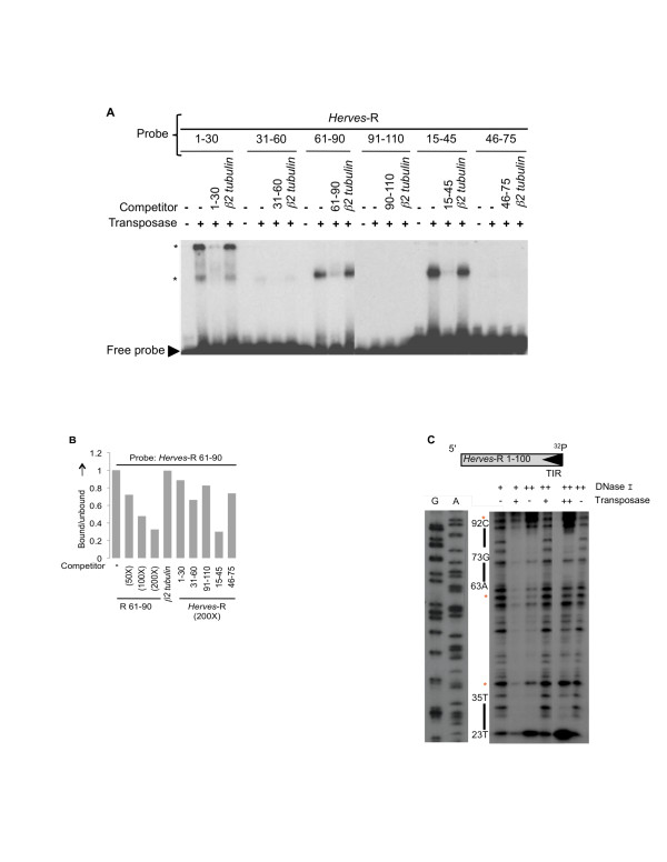 Transposase binding to the Herves -right (R) end . (a) Herves transposase binds to Herves -R bp 1-30, bp 5-45 and bp 61-90. Electrophoretic mobility shift assay (EMSA) analysis of transposase binding to the overlapping 30 bp fragments (bp 1-30, bp 31-60, bp 61-90, bp 91-110, bp 15-45 and bp 46-75). The asterisk (*) indicates various protein <t>DNA</t> complexes. (b) Herves transposase binding to Herves -R bp 15-45 and bp 61-90. The Herves -R bp 61-90 fragment was used as a probe in EMSAs. The fraction of the transposase-bound probe was quantified using a phosphoimager. A homologous fragment was used as specific competitor at a molar excess of 50-fold, 100-fold and 200-fold, whereas non-specific competition was used as described for Figure 2b. Overlapping fragments (bp 1-30, bp 31-60, bp 91-110, bp 15-45, and bp 46-75) were used as competitors of transposase binding to the probe, at 200-fold molar excess. (c) <t>DNase</t> I protection assay of the Herves -R end. The single-end-labeled Herves -R 1-100 bp fragment (100 nM) was incubated in presence (+, ++) or absence (-) of DNase I or the transposase. The ++ indicates 1.4 μM of transposase or 0.5 units of DNase I, whereas + indicates 850 nM of transposase or 0.25 units of DNase I. 32 P indicates the end of the probe that was labeled. The solid bars on the sides indicate the region of the probe protected by the transposase. The asterisk (*) indicates hypersensitive sites.