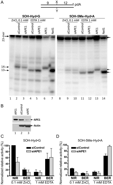 "APE1-catalyzed nucleotide incision activity towards pyrimidine-derived hydantoins in HeLa cells extracts. 3′-[α- 32 P]-ddATP-labelled oligonucleotide duplexes were incubated with either 0.5 µg of HeLa cells extract or a purified protein either under ""NIR+Zn 2+ "" (lanes 2–3, 6 and 9–10, 13) or under ""BER+EDTA"" conditions (lanes 4–5, 7 and 11–12, 14) for 1 h at 37°C. ( A ) Denaturing PAGE analysis of the reaction products. Lane 1, control non-treated 5OH-Hyd•G; lanes 2 and 4, 5OH-Hyd•G incubated with extracts from HeLa cells treated with the non-specific siRNA (100 nM); lanes 3 and 5, 5OH-Hyd•G incubated with extract from HeLa cells treated with the APE1-specific siRNA (100 nM); lane 6, 5OH-Hyd•G treated with 1 nM APE1; lane 7, 5OH-Hyd•G treated with 5 nM NEIL1; lanes 8–14, same as 1–7 but with 5OH-5Me-Hyd•A as a substrate. ( B ) Western blot analysis of siRNA-induced down-regulation of the APE1 expression in HeLa cells. ( C ) Graphic representation of the mean values of DNA glycosylase (BER) and AP endonuclease (NIR) activities in extracts, representing amounts of the 13-mer and 14-mer products, respectively. The cleavage activities in each cell free extract were normalized to the relative densitometry values of actin bands on western blot in panel B. For details see Materials and Methods ."