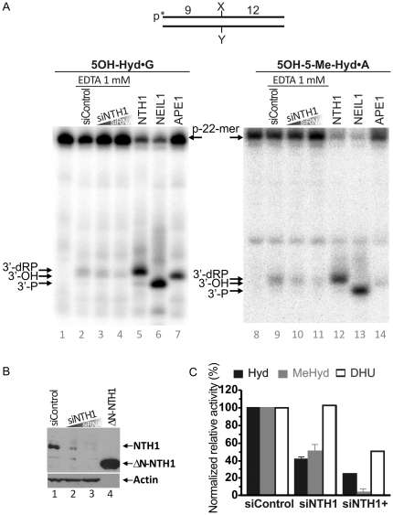 """<t>NTH1-catalyzed</t> DNA glycosylase activity towards pyrimidine-derived hydantoins in <t>HeLa</t> cell extracts. 5′-[ 32 P]-labelled oligonucleotide duplexes were incubated with HeLa cell extracts under """"BER+EDTA"""" condition. ( A ) Denaturing PAGE analysis of the reaction products. Lane 1, control non-treated 5OH-Hyd•G; lane 2, as 1 but incubated with extract from HeLa cells treated with 400 nM of the non-specific siRNA; lane 3, as 1 but incubated with the extract from HeLa cells treated with 100 nM NTH1-specific siRNA; lane 4, as 3 but using 400 nM of NTH1-specific siRNA; lane 5, as 1 but with 10 nM NTH1; lane 6, as 1 but with 5 nM NEIL1; lane 7, as 1 but with 1 nM APE1; lanes 8–14, same as 1–7 but with 5OH-5Me-Hyd•A as a substrate. ( B ) Western blot analysis of the siRNA-induced down-regulation of NTH1 expression in HeLa cells. Lane 1, control HeLa cells tansfected with 400 nM of the non-specific siRNA; lane 2, HeLa cells tansfected with 100 nM of NTH1-specific siRNA; lane 3, same as 2 but 400 nM siRNA; lane 4, the purified truncated recombinant ΔN-NTH1 protein. ( C ) Graphic representation of the mean values of DNA repair activities on 5OH-Hyd•G and 5OH-5Me-Hyd•A in extracts. For comparison DNA repair activities on DHU•G substrate were also shown. The cleavage activities in each cell-free extract were normalized to the relative densitometry values of the actin bands on the western blot in panel B. The arrows denote the position of the 9-mer cleavage fragments containing 3′-dRP residue (9-dRP), 3′-hydroxyl group (3′-OH) and 3′-phosphate residue (3′-P), generated by NTH1, APE1 and NEIL1, respectively. For details see Materials and Methods ."""