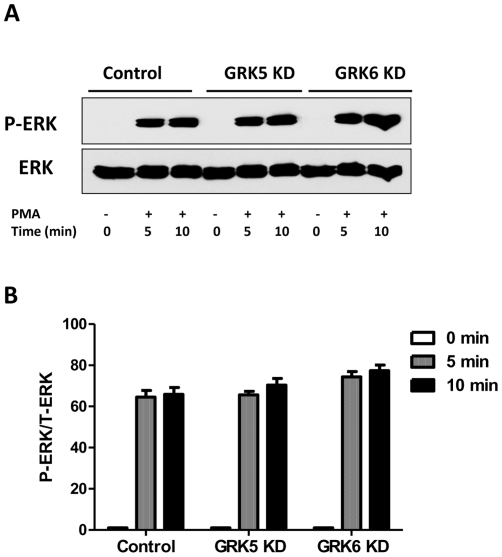 GRKs do not modulate PMA-induced ERK1/2 phosphorylation. shRNA control, GRK5, or GRK6 KD HMC-1 cells were washed with serum-free medium and exposed to phorol-myristate acetate (PMA, 10 nM) for 0, 5 and 10 min. Cell lysates were separated on SDS-PAGE and blots were probed with anti-phospho-ERK1/2 antibody. The blots were then stripped and reprobed with anti-ERK1/2 antibody followed by anti-rabbit IgG-HRP. Immunoreactive band were visualized by SuperSignal West Femto maximum sensitivity substrate. (A) Representative immunoblots from three similar experiments are shown. (B) ERK1/2 phosphorylation from three experiments was quantified using Image J software.