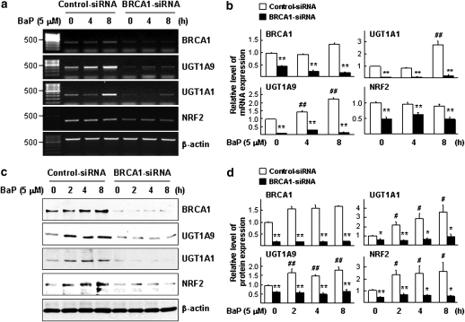 BRCA1 regulates the expression of endogenous UGT1A1, UGT1A9, and NRF2. Differential gene expression of UGT1A1, UGT1A9, or NRF2 in the presence and absence of endogenous BRCA1 was determined by semiquantitative RT-PCR and WB analysis. (a) BRCA1 levels affect the mRNA level of UGT1A1, UGT1A9, and NRF2 following BaP. Cells were pretreated with siRNA (control vs. BRCA1) for 72 h, treated with 5μM of BaP, and harvested at the indicated time points. The agarose gel image is a representative of three independent experiments. (b) Mean ± SE values from three independent semiquantitative RT-PCR assays were plotted to compare relative level of each transcript. (c) Cells were pretreated with siRNA (control vs. BRCA1) for 72 h, treated with 5μM of BaP (0, 2, 4, or 8 h), and harvested for WB analysis. (d) Mean ± SE values from three independent WB analysis were plotted to show relative intensity values of each band as determined by densitometry. Student's t -tests were applied for statistical significance. Symbols (*) and (**) indicate p