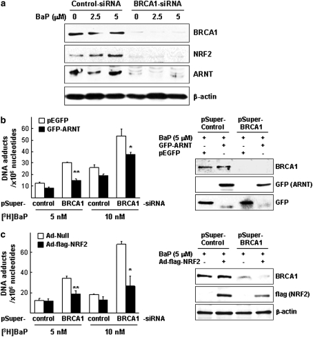 Effects of restoring ARNT or NRF2 on BaP-ind u ced DNA adducts in BRCA1 knockdown cells. (a) Cells were pretreated with siRNA (control vs. BRCA1), treated with BaP (0, 2.5, and 5μM), harvested, and confirmed by WB analysis using anti-BRCA1, anti-NRF2, and anti-ARNT antibodies. (b) Overexpression of ARNT in BRCA1 knockdown cells decreases the amount of adducts induced by BaP. Cells transfected with shRNA coding vector (pSuper-control vs. pSuper-BRCA1) for 48 h were transfected with GFP-tagged ARNT (vs. pEGFP as a empty vector) and then treated with [ 3 H]BaP for 24 h. (c) Restoring NRF2 reduced the amount of DNA adducts in BRCA1 knockdown cells. Cells were transfected with shRNA as in (a) and infected with adenovirus (Ad)-flag-NRF2 (vs. Ad-Null) and then [ 3 H]BaP-DNA adducts were measured. Student's t -tests were applied for statistical significance; (*) and (**) indicate p