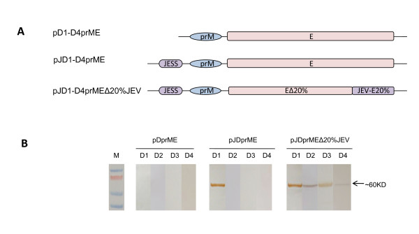 Construction strategies and secretion analysis of DENV1-4 VLPs . A) Schematic representation of three strategies to construct DENV1-4 VLP expression plasmids, pD1-D4prME include the entire prM and E gene regions of DENV. JEV signal sequence (JESS) is introduced to the N-terminal of pJD1-D4prME, and pJD1-D4prMEΔ20%JEV. The corresponding JEV-E sequence was constructed in pJD1-D4prMEΔ20%JEV to replace the 20% C-terminal region of DENV-E; B) Western blot analysis of DENV1-4 VLPs secretion, Concentrated culture supernatants from 293T cells transformed with pD1-D4prME, pJD1-D4prME or pJD1-D4prMEΔ20%JEV were tested by rabbit polyclonal serum specific against dengue E protein. Bound antibodies were detected by a HRP-conjugated goat anti-mouse antibody. The band corresponding to envelope (E) is indicated with an arrow to the right of the blot.