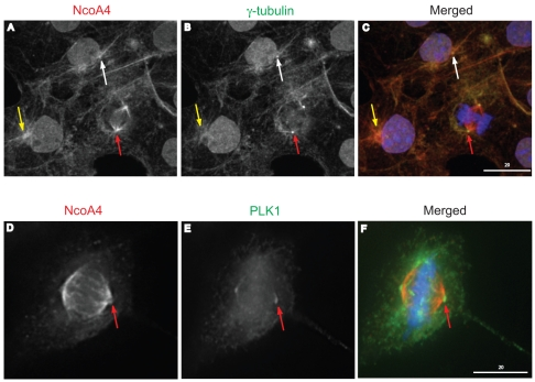 NcoA4 association with the centrosome during mitotic progression. Representative images of COS cells at different stages of mitosis stained for NcoA4 (red; A, and D ), and γ−tubulin (green; B ), or Plk1 (green; E ). Merged images are shown in C and F . All images shown are of single optical slices obtained by confocal ( A to C ) or deconvolution ( D to F ) microscopy. Cells were also subjected to DAPI staining for visualization of chromatin (blue). NcoA4 was localized to aster formations (yellow arrows, A and C ) and centrosomes (white arrows, A and C ). Diminished NcoA4 staining at the centrosome during metaphase (red arrows, A and D ) using γ-tubulin ( C ) or Plk1 ( F ) as a centrosomal marker. [Bars: 20 µm].