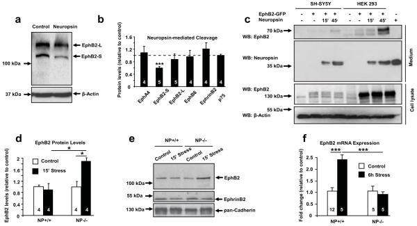 Neuropsin cleaves <t>EphB2</t> and regulates its expression both in vitro and in the amygdala after stress ( a, b ) EphB2-S band density in SH-SY5Y cells decreased upon 15 min neuropsin treatment (F (3,18) =11.24; p