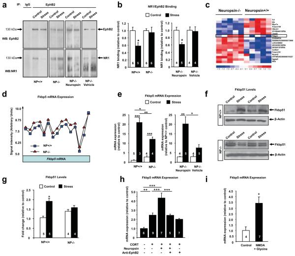 Neuropsin regulates the dynamics of EphB2/ NR1 interaction and controls the expression of Fkbp5 ( a, b ) EphB2 immunoprecipitation (before and after 15 minutes of restraint stress) from amygdalae revealed dissociation of EphB2/NR1 complexes in wild-type (F (3, 19) =4.2; p