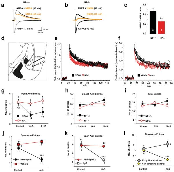 Neuropsin controls NMDA receptor current, E-LTP and stress-induced anxiety ( a-c ) Whole-cell recordings from basal nucleus neurons of neuropsin −/− animals demonstrated lower NMDA currents compared to wild-type mice. Induction of LTP in the lateral-basal pathway ( d ) using a strong ( e ) or weak ( f ) protocol revealed an impairment of E-LTP in neuropsin−/− mice. The elevated plus maze test following acute or chronic restraint stress demonstrated lack of anxiety in neuropsin −/− mice as indicated by the number of entries into open arms ( g ). General locomotor activity was similar in both genotypes ( h, i ). The behavioural phenotype was reversed by bilaterally injecting neuropsin back into the amygdala of neuropsin−/− mice ( j ). Stress-induced anxiety in wild-type animals was disrupted by blocking EphB2 ( k ) or silencing the Fkbp5 gene ( l ) in the amygdala. NP – neuropsin; LA-lateral amygdala; BLA – basal amygdala; CA – central amygdala; MeA – medial amygdala. Digits inside columns or near symbols indicate n number. 6hS – six hour stress, 21dS – 21 days of daily restraint. *p
