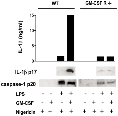 LPS and LPS/GM-CSF induce equal cleavage of caspase-1 in presence of a danger signal. Measurement of bioactive secreted IL-1β p17 and active caspase p20 in serum free culture supernatants of WT and GM-CSFR−/− L929-derived BM MØ treated overnight with 100 ng/ml LPS, 5 ng/ml GM-CSF or a combination of both and then pulsed for 1 h with Nigericin. Upper panel shows the quantification of the amount of IL-1β released measured by ELISA. Results are representative of two independent experiments.